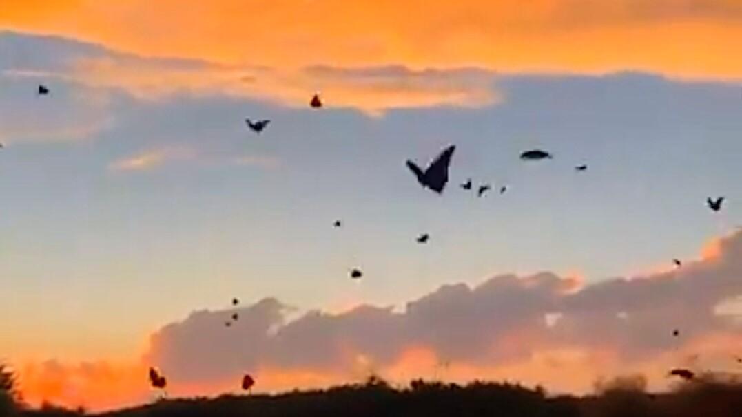 Wędrówka motyli monarchów. Owady pokonają nawet pięć tysięcy kilometrów