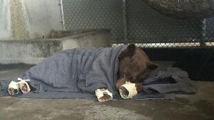 Ich widok łamał serca. Wyleczono niedźwiedzie z ciężkimi poparzeniami łap