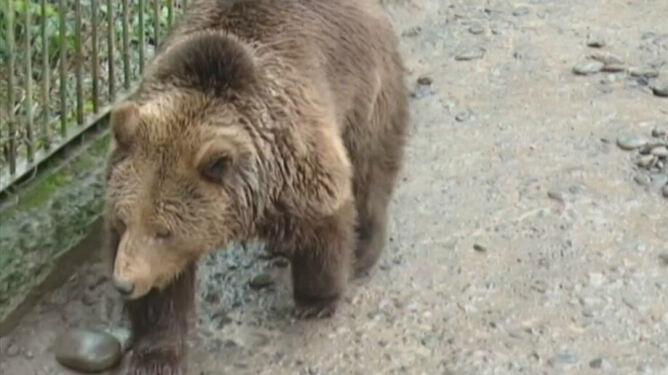 Niedźwiedź potwierdza prognozę świstaka. Zima już się kończy