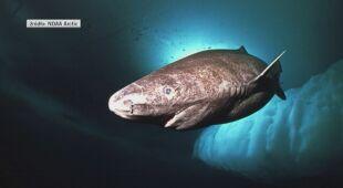 Rekin, który ma 500 lat